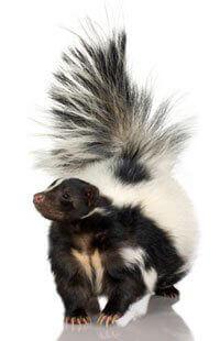 Living In Harmony With Skunks Peta