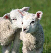 200_2D00_Lambs.jpg