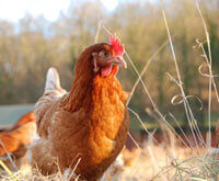 What Is Bird Flu, and How Can You Avoid It?