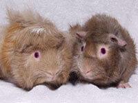 Caring for Guinea Pigs | PETA