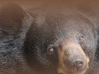 Cherokee Bear at a zoo