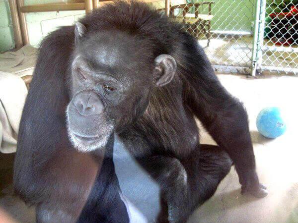 Terry Chimpanzee Las Vegas Zoo