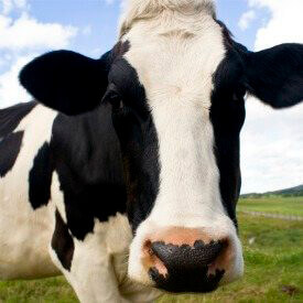 Are Cow Brains Lurking in Your Lipstick?