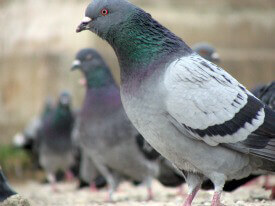 Compulsive Feeders: When 'Helping' Hurts Cats and Pigeons
