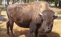 Jambbas Bison