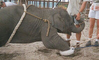 "Ringling Bros. Baby Elephant ""Training"""