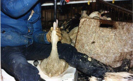 PETA Files Suit Against Sneaky Foie Gras Sale