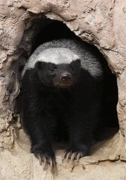 The Year Of The Honey Badger Peta