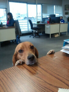 Beagle Looking Over Desk