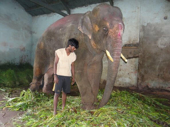 Sunder the Elephant Kept Captive