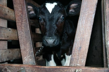 18 Images Big Dairy Do NOT Want You to See, Tragic Life of a Dairy Cow