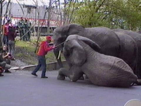 Elephants at Ringling Bros.