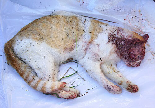Can A Cat Survive With Fip