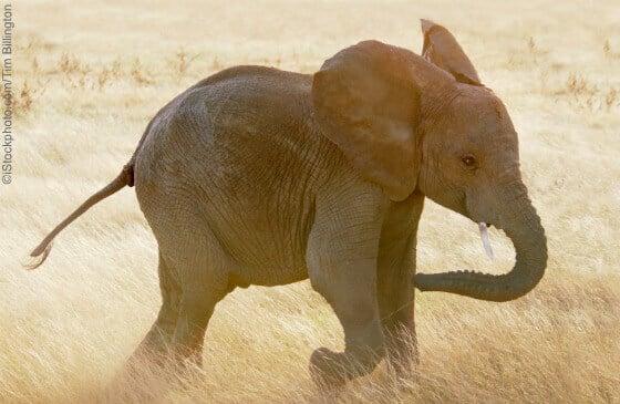 cute baby elephants born to be wild photos peta