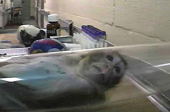 animal testing can cause animal sudden For animal research that causes sentient nonhuman animal suffering to be  we  can model this abrupt loss of blood to a region of heart muscle in pigs, mice,.