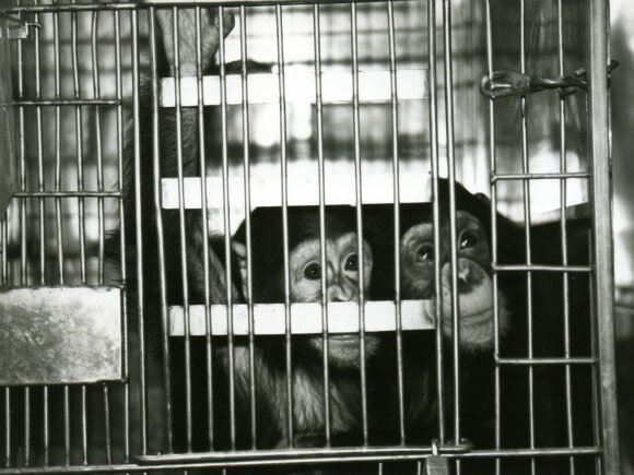 Chimpanzees in Laboratories | PETA