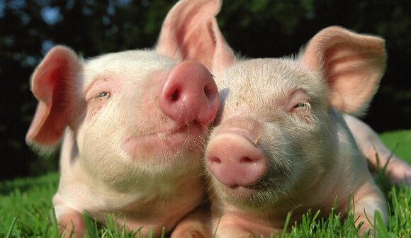 Why Pigs Should Be Friends, Not Food