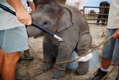 Baby Elephant at Ringling Bros.