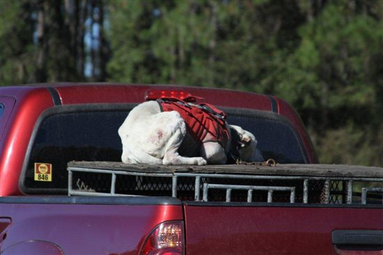 dog in back of truck