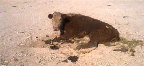 Cow Dragged, Dumped, Left for Dead