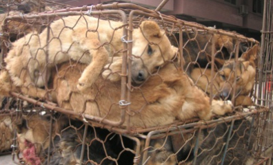 Dogs in Fur Industry Crammed in Cage