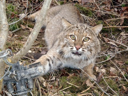 Steel-Jaw Traps Are Alive and Mutilating   PETA