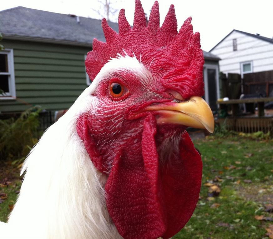 Champion-Chicken-Winner.jpg
