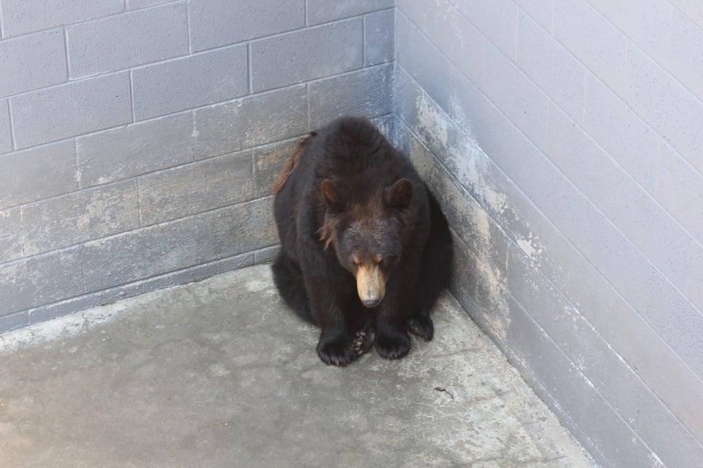 bear in a desolate concrete pit at a North Carolina roadside zoo