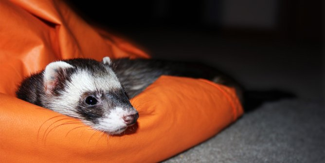 Caring for Ferrets