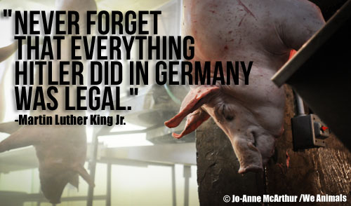 Pig in Slaughterhouse and Martin Luther King Jr. Quote