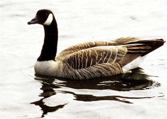 Living In Harmony With Canada Geese