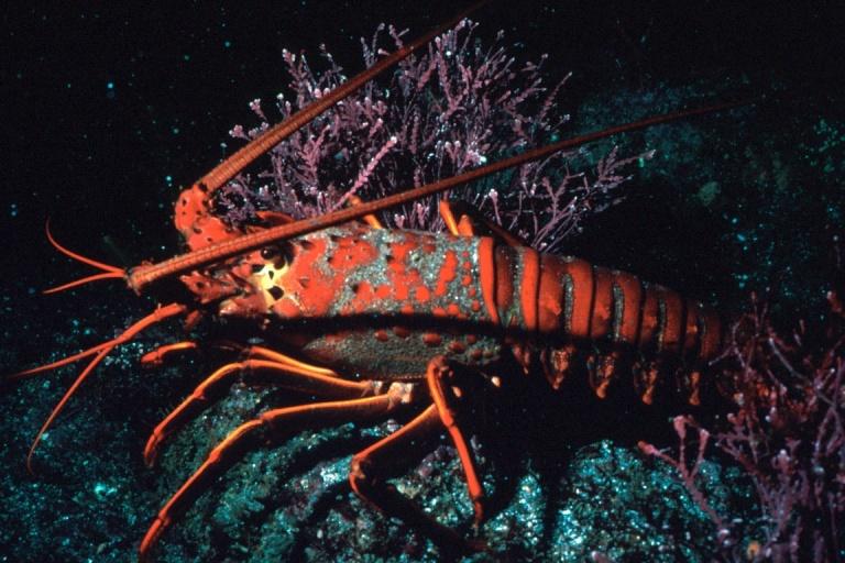 Lobster_300