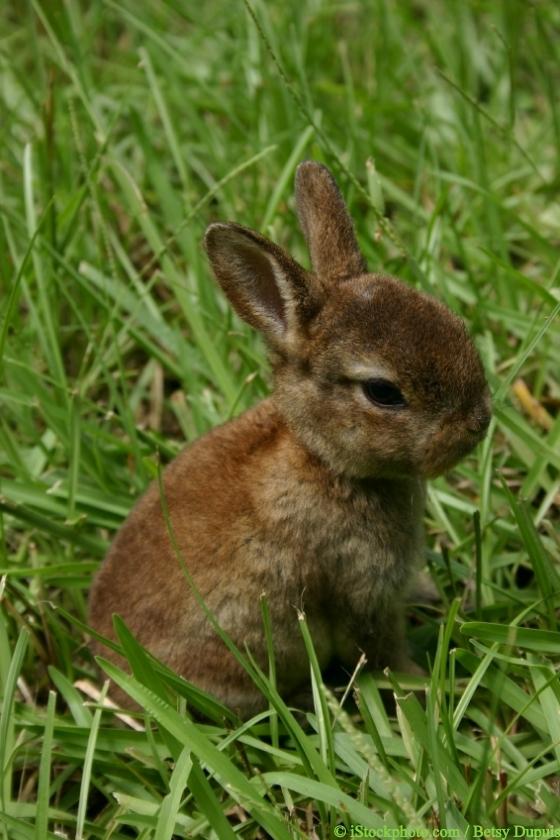 brown dwarf baby rabbits - photo #13