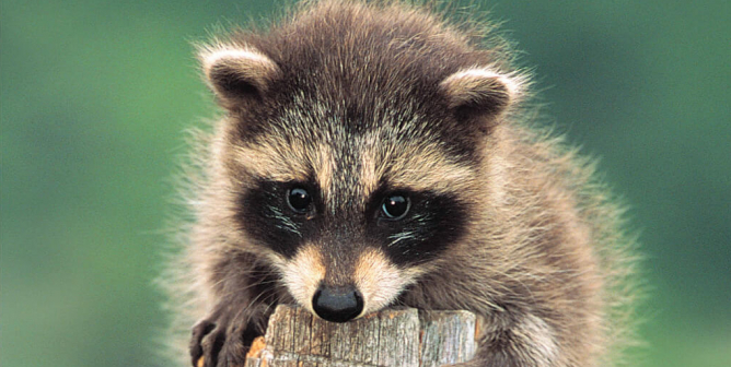 Living in Harmony With Wildlife (Raccoon)