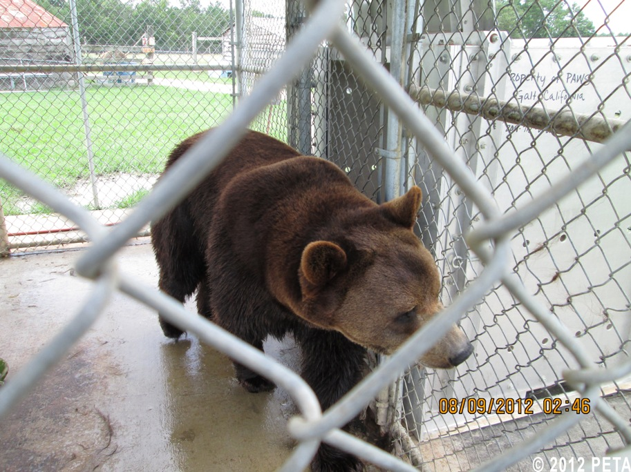 Ben the Bear Caged