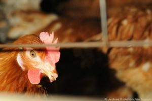caged-chicken