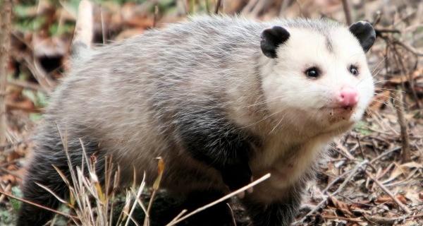Cute Possum