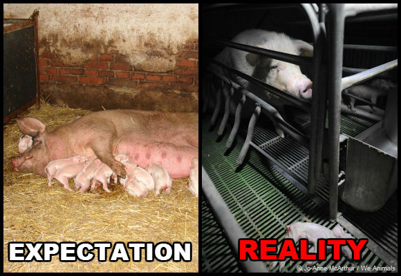 animal cruelty on factory farms On this page the abuses are categorized by animal we also distinguish 5 types of objections to factory farming.