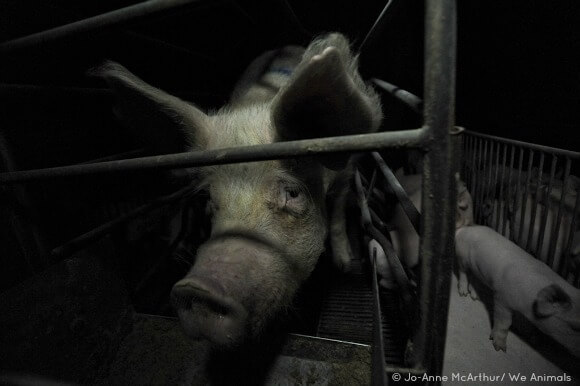Mother Pig in a Farrowing Crate