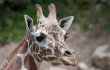 Another Baby Giraffe Dies in a Zoo