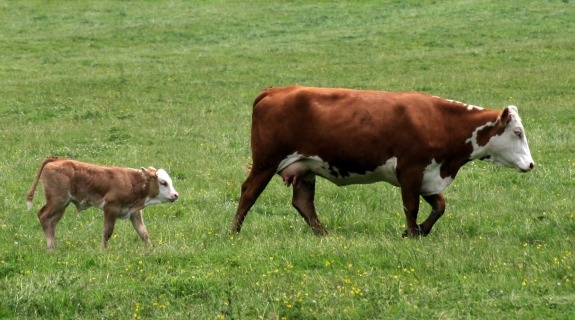 mother-cow-and-calf.jpg