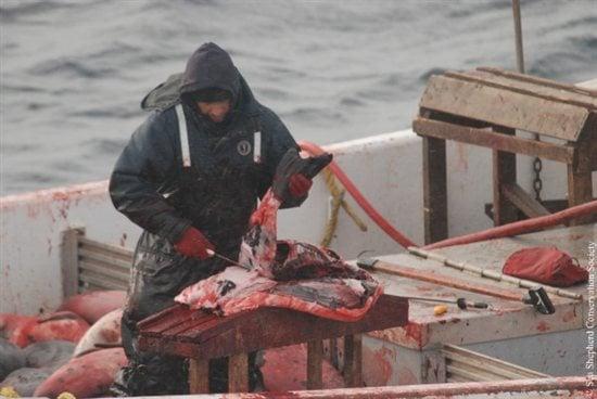 Robbenjäger beim Robbenschlachten