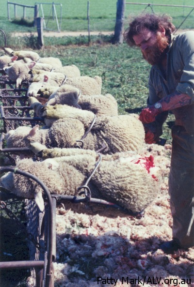 Mulesing Sheep