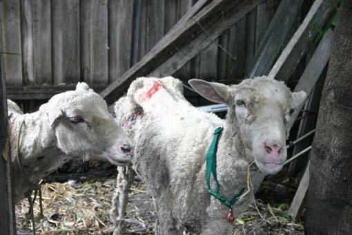 Emaciated Sheep
