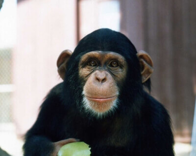 Happy_2D00_Chimpanzee_2D00_Eating_2D00_an_2D00_Apple_2D00_400x593.jpg