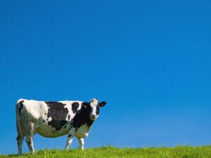 cow_2D00_blue_2D00_sky.jpg