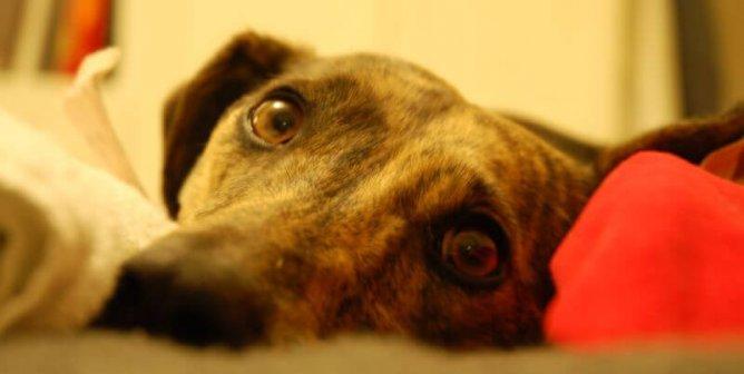 Warning: Cocoa Bean Mulch Harmful to Dogs