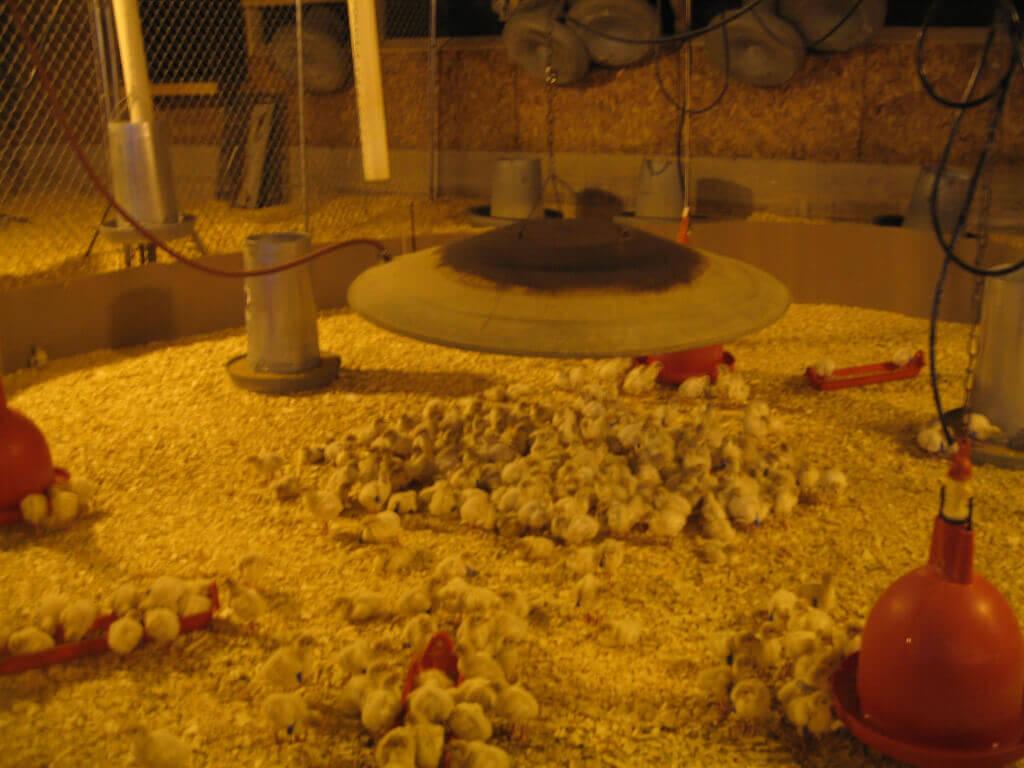 turkeys-heat-lamp