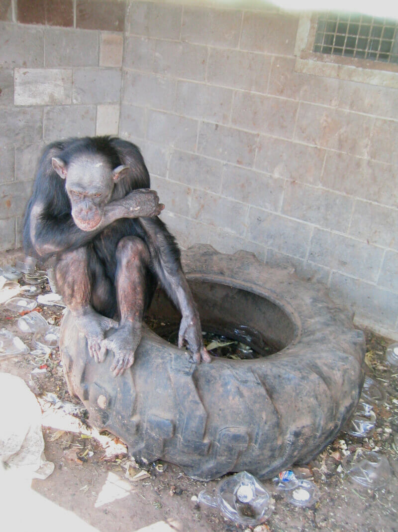 chimpanzee, Edith, sitting on a tire, looking very depressed