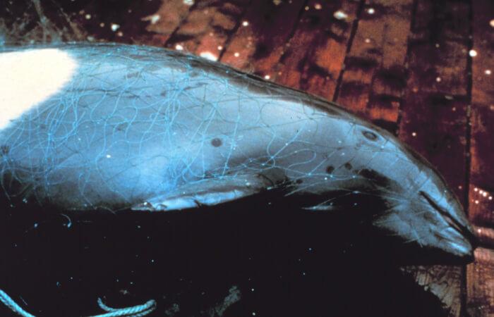 Entangled-porpoise